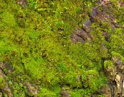 889 tree moss jpg
