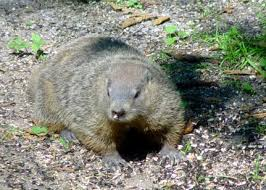 groundhog forecasts climate history national centers