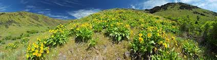Table Mountain Oroville Ca Desert Wildflower Reports For Northern California By Desertusa
