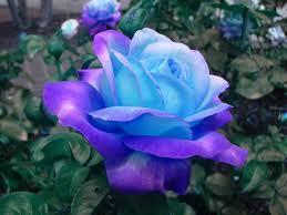 Rose Flower Images Best 25 Single Rose Ideas On Pinterest Most Beautiful Flowers
