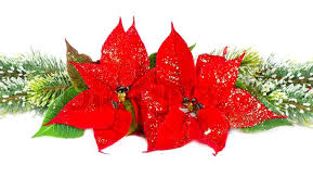 christmas flowers christmas flower poinsettia and evergreen tree stock photo