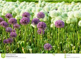 allium flowers field of allium flowers stock photo image of country 29839530