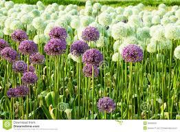 allium flowers field of allium flowers stock photo image 29839530