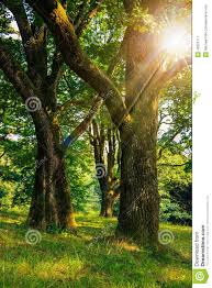 forest glade in shade of the trees in sun rays stock photo image