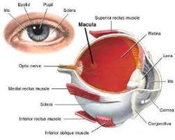 Picture Of Eye Anatomy Design And The Universe