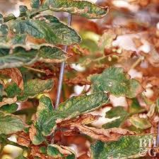 Tomato Plant Wilt Disease - tomato plant diseases