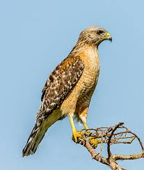 red shouldered hawk wikipedia