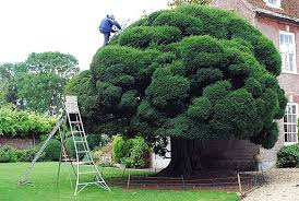 Topiary Cloud Trees - cloud prune yew tree cloud pruning pinterest gardens bonsai