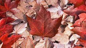 What Leaf Is On The Canadian Flag June 2013