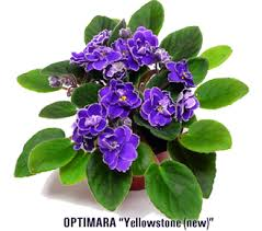 african violet grow light plant care instructions for african violets