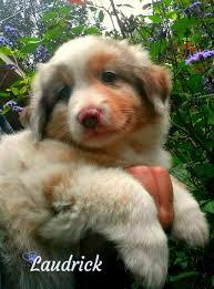 australian shepherd 2015 pups for sale u2013 laudrick miniature australian shepherd