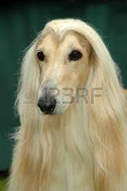 afghan hound pictures afghan hound dog stock photos u0026 pictures royalty free afghan