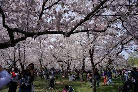 National Cherry Blossom Festival national cherry blossom festival honors lasting friendship