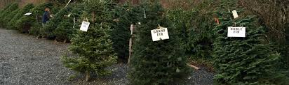 real trees for sale in deming wa river s edge u cut