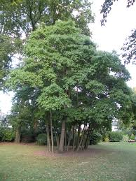 trees are also native plants sassafras albidum google search cultivating landscape