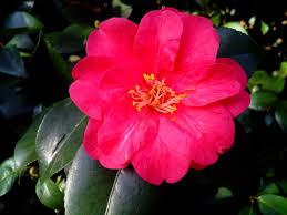 free photo ornamental shrub camellia japonica camellia flower