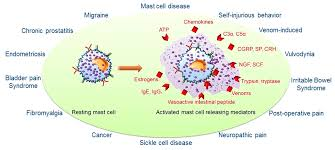 ijms free full text mast cell mediated mechanisms of