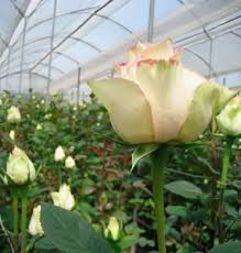 wholesale roses wholesale flowers miami wholesale roses importers flowers