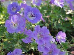 portland native plants native perennial portland oregon purple google search flower