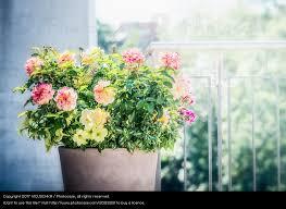 blumentopf balkon blumentopf mit petunien und verbenen auf balkon ein