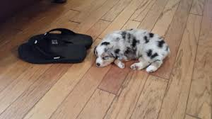 miniature australian shepherd 8 weeks 8 week old mini aussie jude and a size 12 reef sandals for