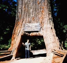 Chandelier Drive Through Tree California Coast Road Trip