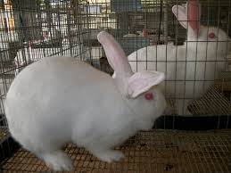 breeding new zealand white rabbits cross roads rabbitry