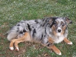 australian shepherd 101 miniature american shepherd female dogs dodge city aussies