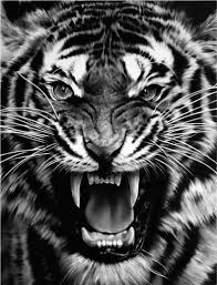 tiger photography black and white siudy