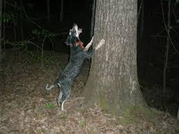 bluetick coonhound west virginia bluetick coonhound coonhounds www bluetick1kennels com blueticks