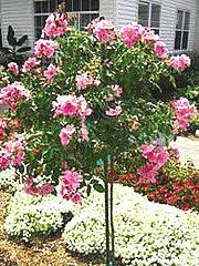 25 best rose trees ideas on pinterest knockout rose tree