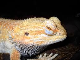 bearded dragon behavior diseases pethelpful