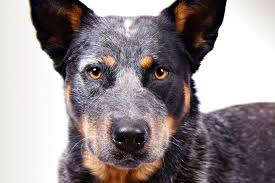 australian shepherd youtube herding australian cattle dog breed information american kennel club