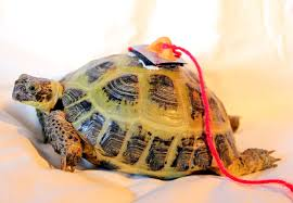 Tortoise Bedding Russian Tortoise Bedding Images Reverse Search