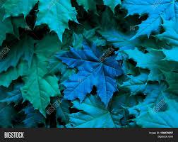 blue shades color maple leaves green blue shades image u0026 photo bigstock