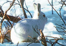 arctic animals a list of north polar animals