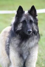 belgian sheepdog apartment belgian sheepdog animals pinterest