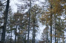 free image of tall thin evergreen trees in deciduous forest