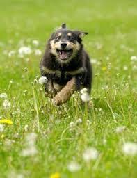australian shepherd off leash australian shepherd puppy training tips u0026 breed profile