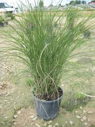 39 best ornamental grass varieties images on
