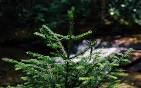 How To Plant Out A Real Christmas Tree In The Garden