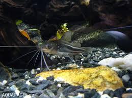 types of aquarium aquarium catfish species of types of aquarium catfish species in