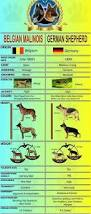belgian shepherd rescue qld best 10 belgian malinois ideas on pinterest belgian malinois