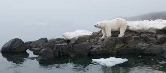 polar bear name and evolution polar bears international