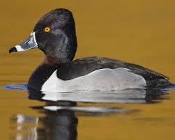 ring necked duck audubon field guide