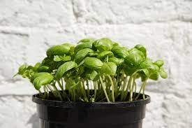 how to grow basil in your garden or container
