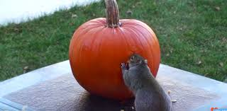 hidden camera catches a sneaky squirrel carving a pumpkin for