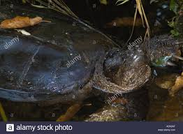 Kensington Metropark Map Snapping Turtle In Stream At Kensington Metropark Michigan Stock