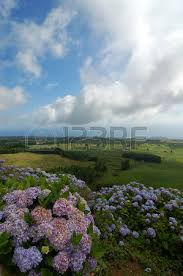 volcano flowers flowers on the volcano in azores fayal portugal stock photo