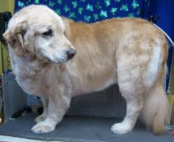 Dog Grooming Styles Haircuts Pet Grooming The Good The Bad U0026 The Furry Grooming A Golden
